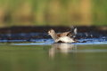 The dunlin calidris alpina bathing in natural enviroment Stock Images