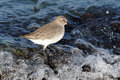 Dunlin calidris alpina in crashing waves in the atlantic ocean Stock Images
