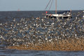 Dunlin calidris alpina flock with sanderling and ringed plover Stock Photography