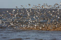 Dunlin calidris alpina flock with sanderling and ringed plover Royalty Free Stock Photos
