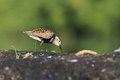 The dunlin calidris alpina in natural enviroment Stock Images