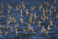 Dunlin calidris alpina new jersey usa winter roost Stock Photography