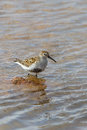 Dunlin wading in water a calidris alpina rippled portrait format uk Stock Images
