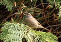 Dunnock Royalty Free Stock Image