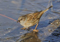 Dunnock or hedge sparrow feeding on frozen pond prunella modularis Stock Images