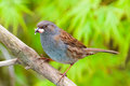 Dunnock hedge sparrow otherwise known as a feeding on maggots found in england a ground feeding bird mainly these are small birds Stock Photos