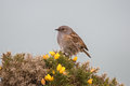Dunnock perched on gorse bush a prunella modularis also known as hedge sparrow a flowering against a clear grey background uk Stock Images
