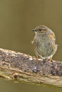 Dunnock sits on a tree Stock Images