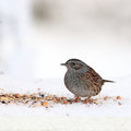 Dunnock in winter Stock Image