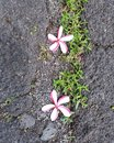 Duo of Fallen Candy Cane Plumeria Flowers Royalty Free Stock Photo