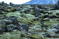 Durable moss on volcanic rocks in Iceland Royalty Free Stock Photo