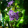 Duranta or pigeon berry repens l golden dew drop sky flower Royalty Free Stock Photos