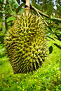 Durian Stock Images