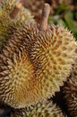 Durian fruit local tropical in fresh market of thailand Royalty Free Stock Photo