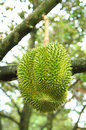 Durian fruit on tree with drop of water Royalty Free Stock Photography