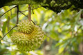 Durian fruit on tree in the garden Royalty Free Stock Photo