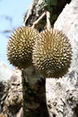 Durian plantation southeast asian tropical fruit Royalty Free Stock Photo