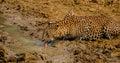 Durstiger leopard Stockfotos