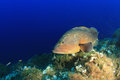 Dusky grouper underwater on mediterranean reef Stock Photo