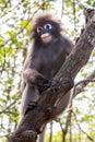 Dusky langur monkey in the wild Stock Photo