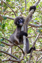 Dusky langur monkey in the wild Royalty Free Stock Photos
