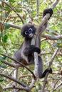 Dusky langur monkey in the wild Royalty Free Stock Photos
