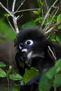 Dusky Leaf Monkey. Royalty Free Stock Photography