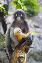 Dusky leaf monkey baby a mother and its yellow Stock Image