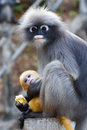 Dusky leaf monkey baby a mother and its yellow Royalty Free Stock Images