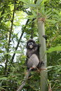 Dusky leaf monkey in kaen krachan national park lesf tailand Royalty Free Stock Photography