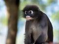 Dusky leaf monkey langur spectacled langur Stock Photo