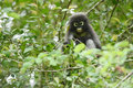 Dusky Leaf Monkey In Nature
