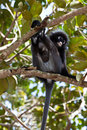 Dusky leaf monkey sitting in a tree Stock Images