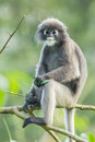 Dusky leaf monkey trachypithec us obscurus stair at us in kengkrajarn nartionnal park of thailand Royalty Free Stock Image