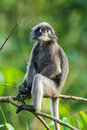 Dusky leaf monkey trachypithecus obscurus in kengkrajarn nartionnal park of thailand Royalty Free Stock Photos