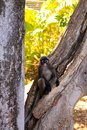 Dusky-Leaf Monkey in Tree Stock Images