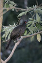 Dusky legged guan penelope obscura single bird on branch brazil Stock Photos