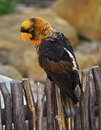 Dusky Lory Royalty Free Stock Photos