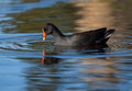 Dusky Moorhen Swimming in and Drinking Stock Photography