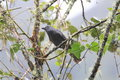 Dusky piha lipaugus fuscocinereus in ecuador Royalty Free Stock Photography