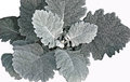 Dusty miller with poster edges velvety grey leaves of senecio cineraria isolated against a white background Stock Images