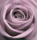 Zaprášený ruže