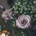 Dusty rose in the bouquet on the holiday table Royalty Free Stock Photo