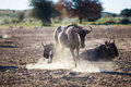 Dusty wildebeest a kicking up dust at a watering hole in the kgalagadi transfrontier park Stock Photography