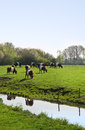 Dutch belted or lakenvelder cows on an old and rare breed of dairy cattle grazing field in spring Royalty Free Stock Image