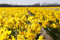 Dutch Bulb fields Royalty Free Stock Images
