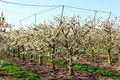 Dutch cherry orchard and sprinkler system Stock Photo