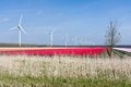 Dutch colorful tulip fields with wind turbines Royalty Free Stock Photo