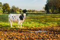 Dutch cow in meadow Royalty Free Stock Photo