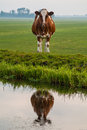 Dutch cow reflected in water Stock Images